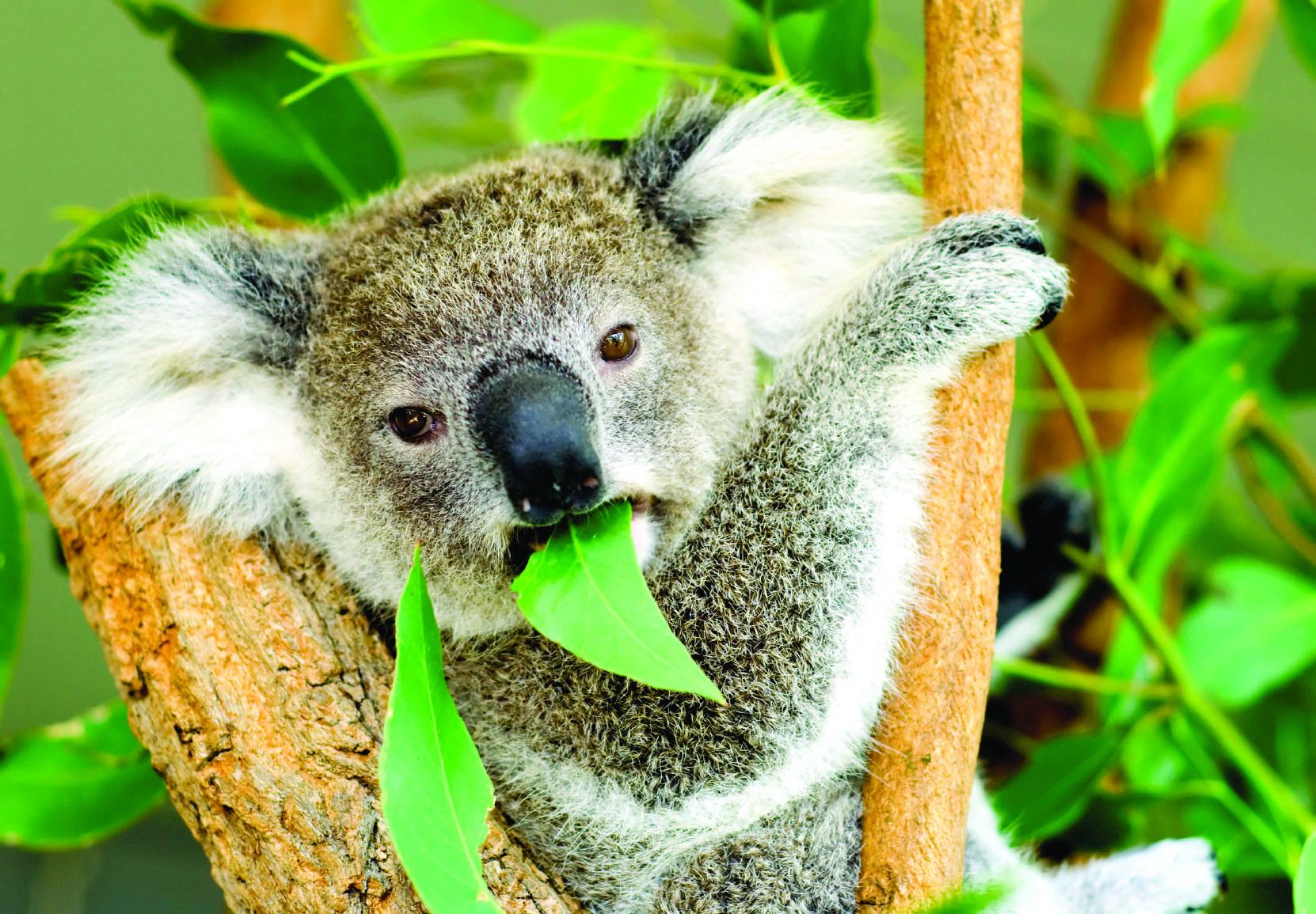 koala army set to  u2018wage peace u2019 on federal politicians before election  u2013 the source news