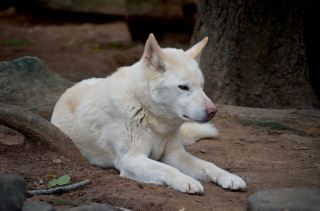White dingo. Photo: Nannaphat Sritakoonrut
