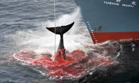 Japanese whaling to resume. Photo: Brisbane Times