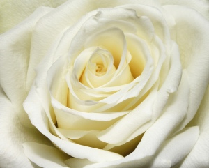 White rose. Picture: Flickr