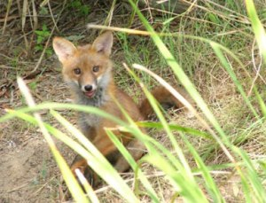 European fox from Ipswich City Council Site