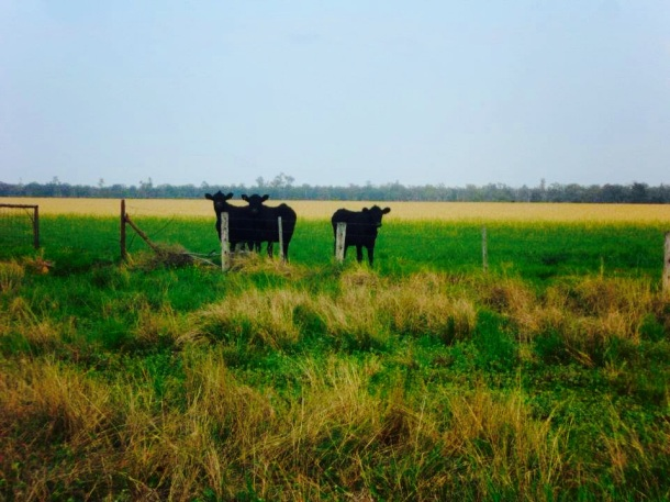 Angus Cattle graze on pastoral land at Dilbong, QLD Source: Supplied.