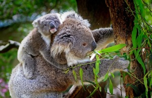 Koalas have long been local residents in the Redland City Source: pixabay.com