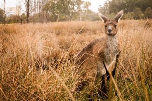 Wild kangaroo in Western Australia Source: Flickr