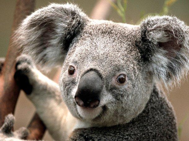 17704-koala-bear-pv