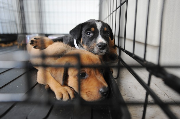 FEMA_-_38417_-_Dogs_at_a_shelter_for_displaced_pets_in_Texas