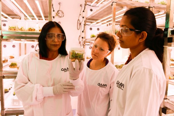 Professor Neena Mitter, Dr Alice Hayward and PhD student Jayeni Hiti Bandaralage inspect avocado clippings that could contribute to easing the avocado shortage photo- supplied QAAFI