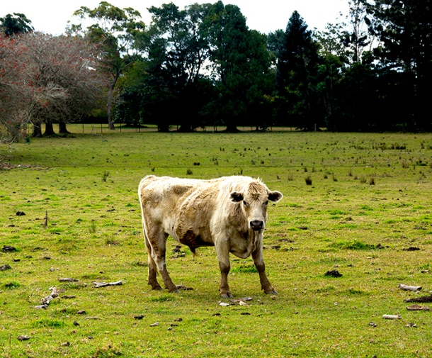 A cow at the Save A Cow Foundation in Maleny