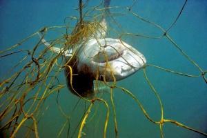 Grey Nurse shark caught in net