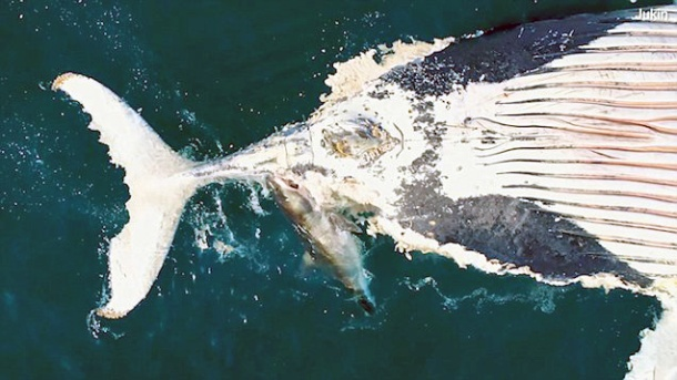 Great white shark scavenges humpback carcass