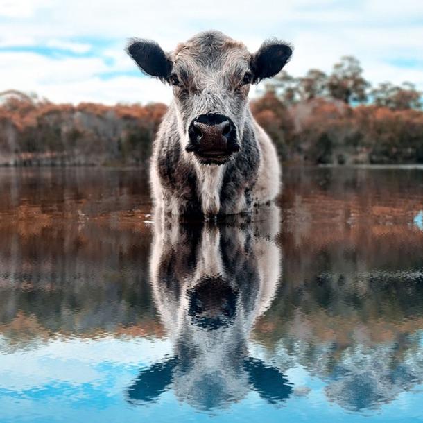 DRU sanctuary cow