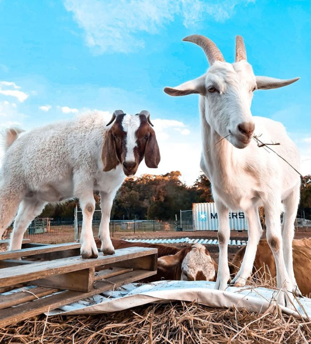 Goats at DRU sanctuary
