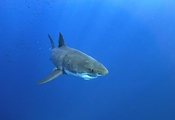 Great White Shark Gerald Schombs/Unsplash